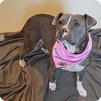 Adopt A Pet :: Caroline - Aurora, CO