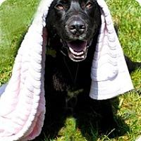 Adopt A Pet :: Boomer - Petaluma, CA