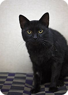 Domestic Shorthair Cat for adoption in Sterling, Kansas - Sgt. Pepper