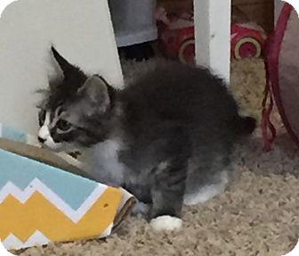 Domestic Mediumhair Kitten for adoption in Sacramento, California - Carl