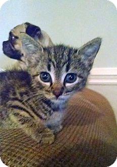 Domestic Shorthair Kitten for adoption in Marion, North Carolina - Cinder