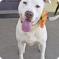 Adopt A Pet :: Aggie - Huntsville, AL