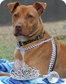 Labrador Retriever/American Staffordshire Terrier Mix Dog for adoption in Richardson, Texas - Delilah Lou