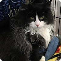Domestic Longhair Cat for adoption in Naugatuck, Connecticut - Gucci