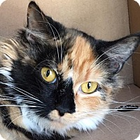 Adopt A Pet :: Delilah Mini Maine Coon - Westerly, RI