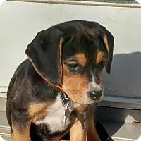 Adopt A Pet :: Beagle Puppies - 2 Females - Cincinnati, OH