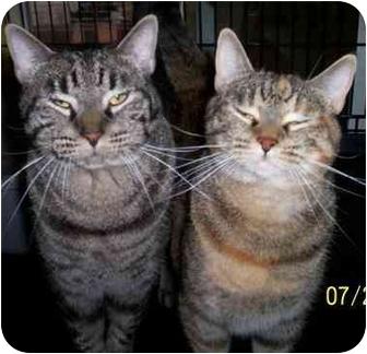 Domestic Shorthair Cat for adoption in Ridgecrest, California - Gordon