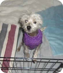 Chinese Crested/Maltese Mix Puppy for adoption in Shawnee Mission, Kansas - George B