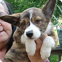 Adopt A Pet :: Corgi Pup 4