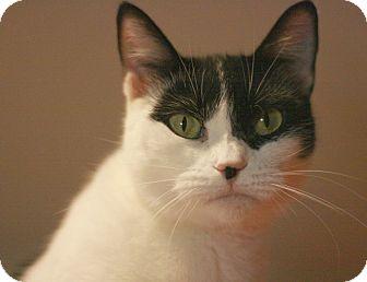 Domestic Shorthair Cat for adoption in Canoga Park, California - Stuffins