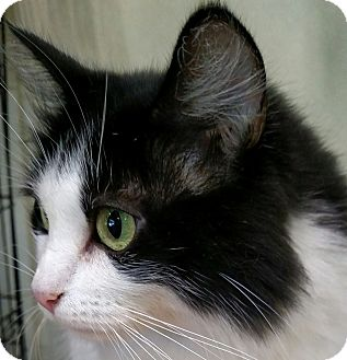 Domestic Longhair Cat for adoption in Yuba City, California - Patches