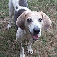 Adopt A Pet :: Drake - Orange Lake, FL