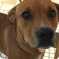 Adopt A Pet :: Boots - Middletown, NY