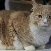Domestic Mediumhair Cat for adoption in Bronx, New York - Columbus