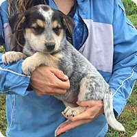 Australian Cattle Dog/Shepherd (Unknown Type) Mix Puppy for adoption in Twinsburg, Ohio - Reign (6 lb) Video
