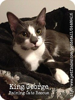 Domestic Shorthair Cat for adoption in Vero Beach, Florida - King George