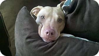 American Pit Bull Terrier/Labrador Retriever Mix Dog for adoption in Clay, New York - Hope