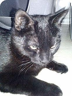 Domestic Shorthair Cat for adoption in San Fernando Valley, California - Haizy
