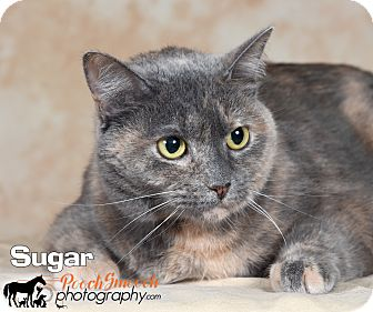 Domestic Shorthair Cat for adoption in Broadway, New Jersey - Sugar
