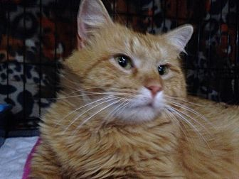 Domestic Mediumhair Cat for adoption in St. Louis, Missouri - Severus