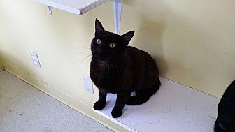 Domestic Shorthair Cat for adoption in Port Clinton, Ohio - Huron