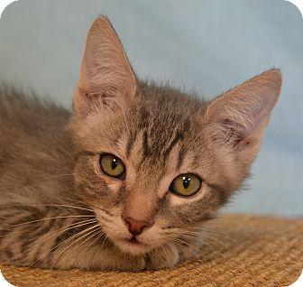Domestic Shorthair Cat for adoption in Larned, Kansas - Smokie