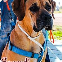 Adopt A Pet :: Brandi - Odessa, TX
