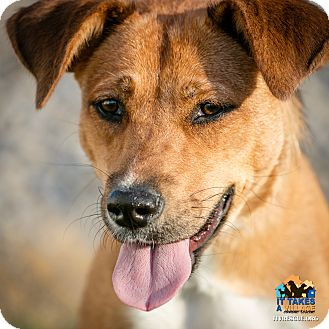 Shepherd (Unknown Type) Mix Dog for adoption in Evansville, Indiana - Izzy