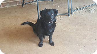 Corgi/Border Collie Mix Dog for adoption in Snyder, Texas - Nate