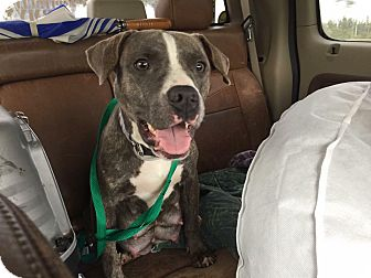Staffordshire Bull Terrier Mix Dog for adoption in Loxahatchee, Florida - Erica