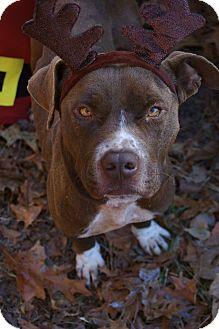 Labrador Retriever/Pit Bull Terrier Mix Dog for adoption in Bishopville, South Carolina - Frank