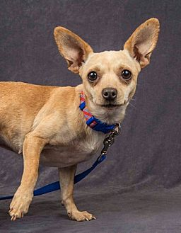 Chihuahua Mix Dog for adoption in Davis, California - Mimi