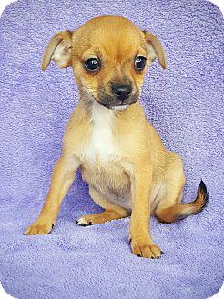 Miniature Pinscher Mix Puppy for adoption in Fredericksburg, Texas - Gumdrop