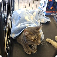 Domestic Shorthair Cat for adoption in McDonough, Georgia - Dragon needs a patient heart