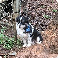 Adopt A Pet :: Charlie - North Wilkesboro, NC