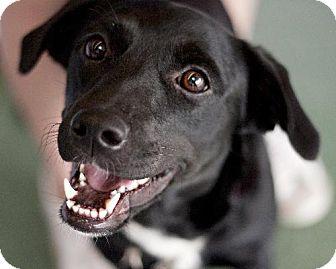 Labrador Retriever Mix Dog for adoption in Sunset, Louisiana - Ali