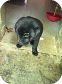 Labrador Retriever/Shar Pei Mix Puppy for adoption in Athens, Georgia - Maranda