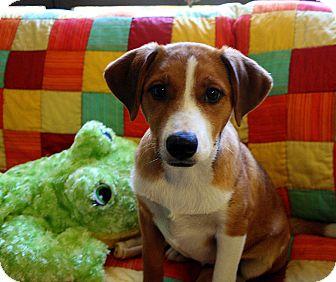 Labrador Retriever/Boxer Mix Puppy for adoption in Groton, Massachusetts - Susan