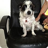 Adopt A Pet :: Curly Sue - Davie, FL
