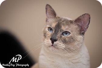 Siamese Cat for adoption in Fountain Hills, Arizona - VIOLET