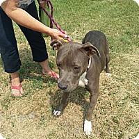 Adopt A Pet :: Velvet - Calgary, AB