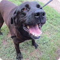 Adopt A Pet :: Bently - Cambridge, MD