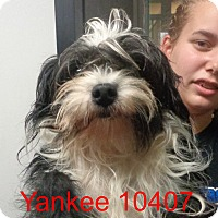 Adopt A Pet :: Yankee - Greencastle, NC