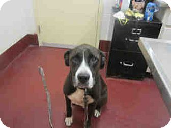 Mastiff Mix Dog for adoption in Newnan City, Georgia - Perry