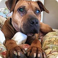 Adopt A Pet :: Bartimaeus - Bruce Township, MI