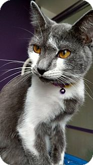 Domestic Shorthair Kitten for adoption in Tampa, Florida - Jenny