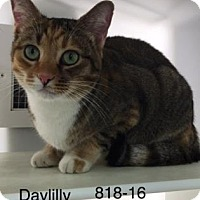 Domestic Shorthair Cat for adoption in Cumming, Georgia - Daylilly