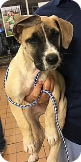 Pit Bull Terrier/Great Dane Mix Puppy for adoption in Wethersfield, Connecticut - Link