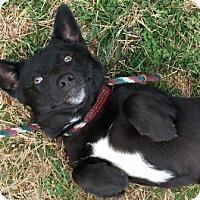Corgi Mix Dog for adoption in Bardonia, New York - Nigel