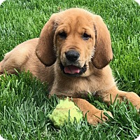 Adopt A Pet :: Chester - Overland Park, KS